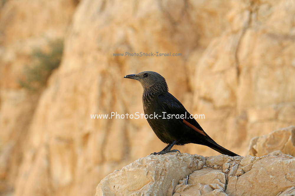 Israel, Dead Sea, Female Tristram's Starling or Tristram's Grackle (Onychognathus tristramii)
