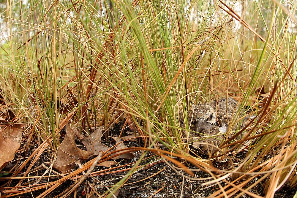 Young mourning dove (Zenaida macroura) camouflaged in wiregrass of longleaf pine forest. Sandhills Gamelands, North Carolina