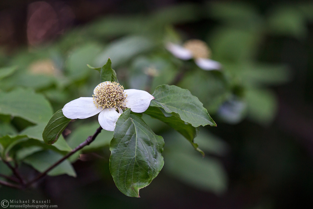 Pacific Dogwood (Cornus nuttallii) flowers in a forest in Langley, British Columbia, Canada.  The Pacific Dogwood is British Columbia's official flower and is featured on the provincial coat of arms.