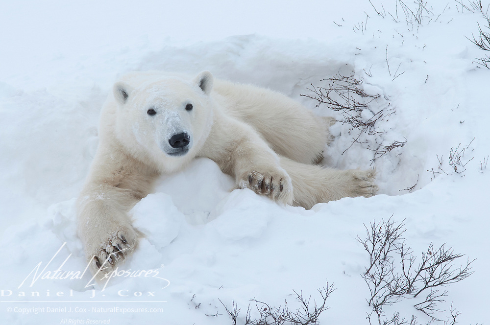 Polar Bear (Ursus maritimus) In a day bed during the winter. Churchill, Manitoba, Canada