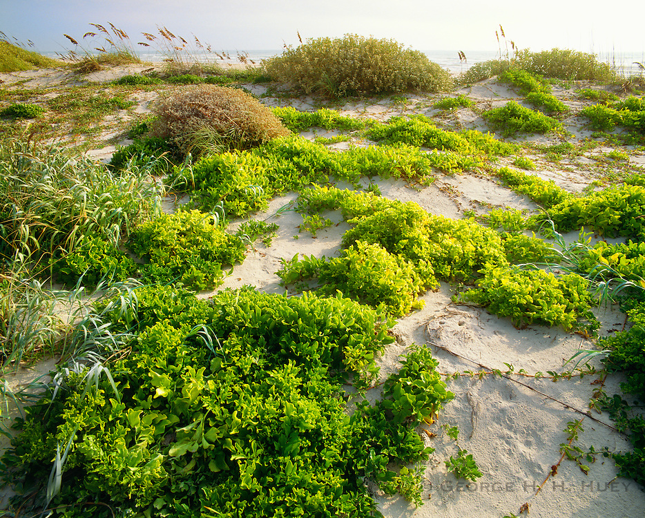 0505-1014C ~ Copyright: George H.H. Huey ~ Railroad vine [lpomoea pes-caprae var. emarginata], and sea oats [Uniola paniculata] stablizing foredunes w/Gulf of Mexico in background.  Padre Island National Seashore, Texas.