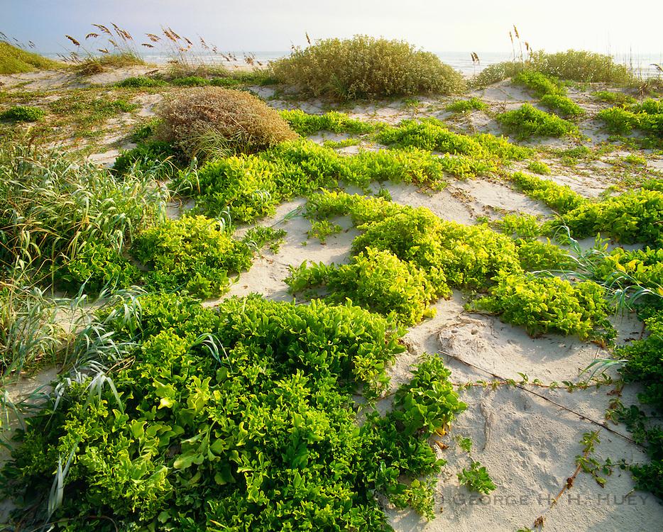0505-1014C ~ Copyright: George H.H. Huey ~ Railroad vine [lpomoea pes-caprae var. emarginata], and sea oats [Uniola paniculata] stablizing foredunes w/Gulf of Mexico in background.  Padre Island National Seashore, Texas.