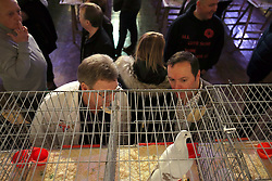 © Licensed to London News Pictures. 21/01/2017. Blackpool, UK. Pigeons are displayed in rows of cages at the British Homing World, Show of the Year at The Winter Gardens in Blackpool. The show has been running since 1973 with over 2500 pigeons on show and an expected 25000 visitors over the weekend. This is the largest gathering of Pigeon Fanciers in the United Kingdom. From trade stands, various groups and organisations, talks, films, young fanciers areas, to the main event: the showing and judging of thousands of the top pigeons in the UK. Photo credit: Nigel Roddis/LNP