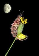 Glow-worm - Lampyris noctiluca