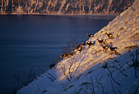 Sika deer on a snowy hillside above Lake Mashu, a caldera lake.