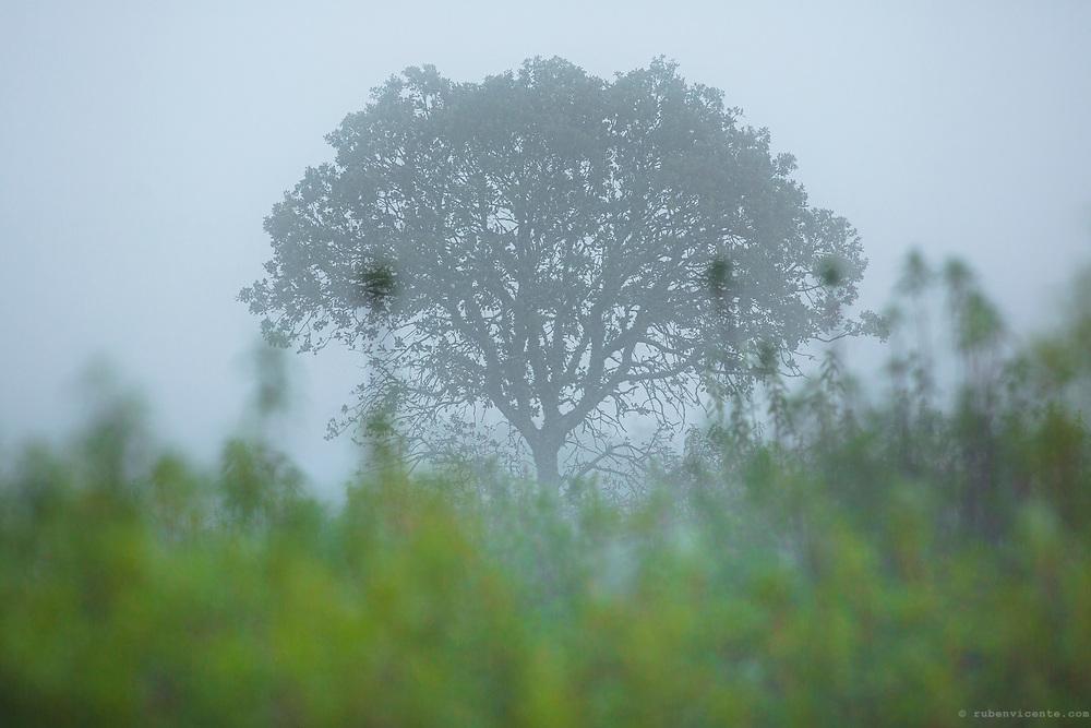 Evergreen oak in the fog. International Tejo Natural Park, Portugal