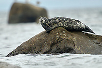Harbour Seal (Phoca vitulina), Kye Bay, Vancouver Island, Canada   Photo: Peter Llewellyn