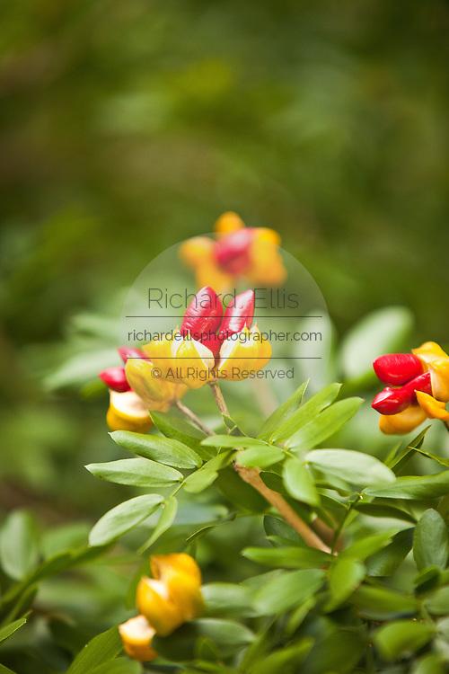 Guaiacum sanctum or Hollywood lignum-vitae flowering at the Key West Botanical Garden on Stock Island, Key West, Florida.