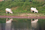 Two large white cows are grazing in green grass on the shore of the Nan River in Nan, Thailand.