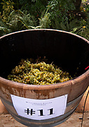 Grape Stomp, Willamette Valley Vineyards, Oregon