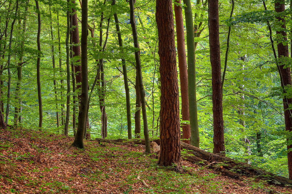 Beech forest in Gdynia, Poland.