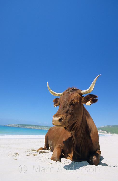 Cow on a beach, Bolonia, Costa de la Luz, Spain