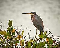Tricolored Heron on a Mangrove tree. Black Point Wildlife Drive, Merritt Island National Wildlife Refuge. Image taken with a Nikon Df camera and 300 mm f/4 lens (ISO 400, 300 mm, f/4, 1/1250 sec).