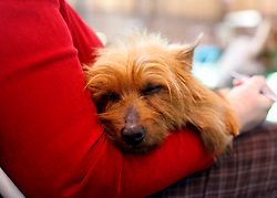 © Licensed to London News Pictures. 11/03/2012.  Rosie and Australian terrier takes a nap while she waits to take part in the Terrier class of the 2012 Crufts final at the Birmingham NEC Arena.  With over 28,000 dogs taking part the tension is high as the competition draws towards the prestigious title of  Best in Show. Photo credit: Alison Baskerville/LNP
