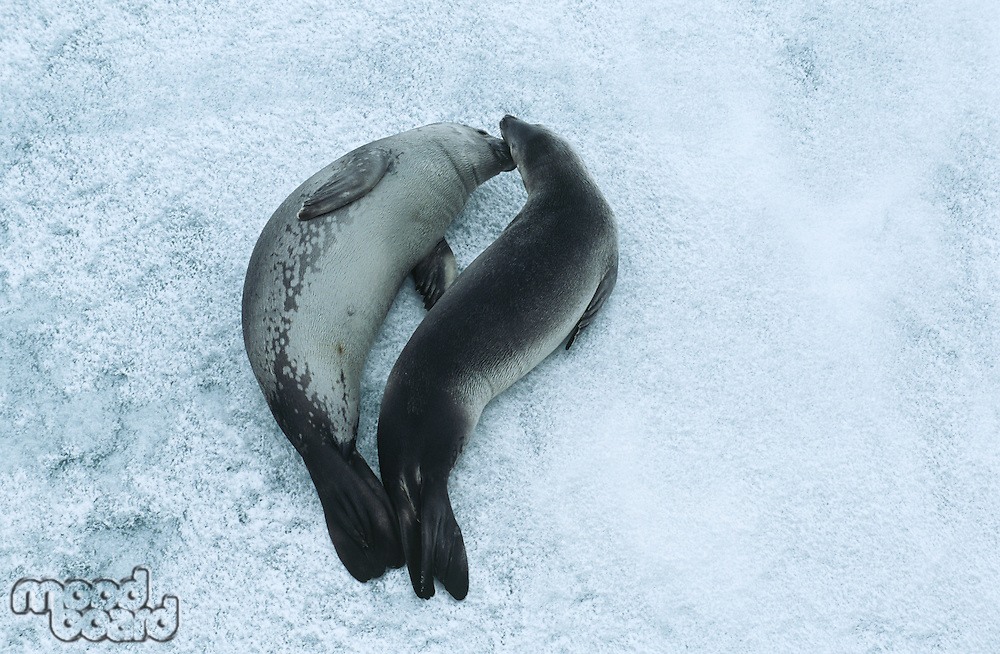 Two Weddell Seals (Leptonychotes weddellii) on ice view from above