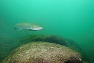 Huchen<br /> <br /> Viktor Vrbovsky/Engbretson Underwater Photography