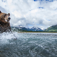 USA, Alaska, Katmai National Park, Wide angle view of Coastal Brown Bear (Ursus arctos) splashing through salmon spawning stream along Kukak Bay