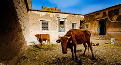 Cattle and chickens in a ruined, but still occupied,  kasbah near  Tazenakht, southern Morocco, Africa<br /> <br /> (c) Andrew Wilson | Edinburgh Elite media