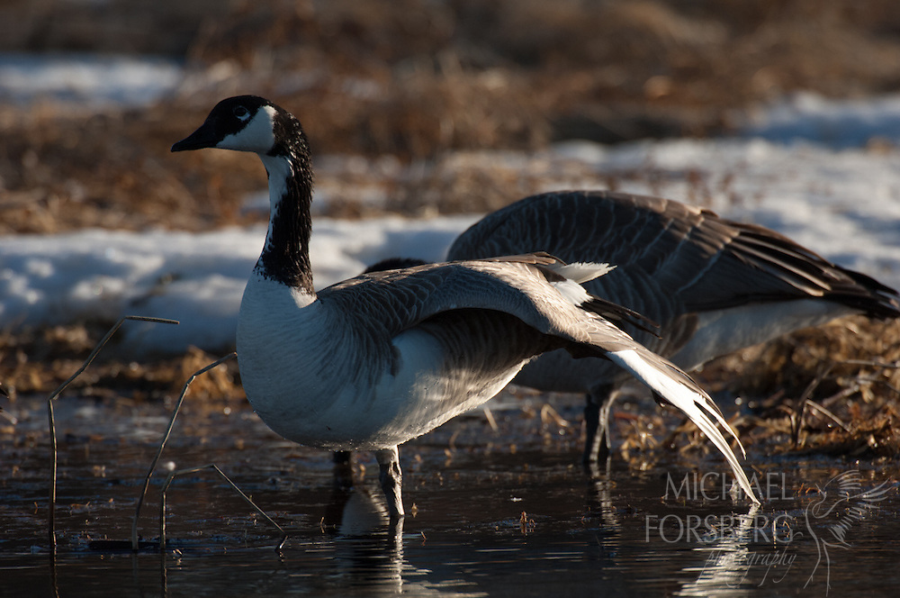Nebraska Sandhills. Peterson Ranch.<br /> <br /> Hybrid? Canada goose/Snow goose wintering along Blue Creek.<br /> <br /> Blue Creek stays open even in the deepest cold of winter, fed by powerful underground springs from the Ogallala aquifer below.