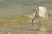 A Great Egret   catches the prey in the sea .