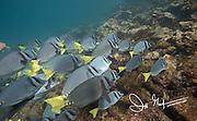 School of razor surgeonfish (prionurus laticlavius), Galapagos, Ecuador.