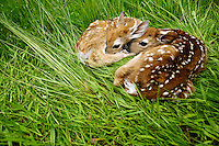 Two newborn fawns, less than five hours old according to a neighbor, rest in tall grass Thursday near the base of Canfield Mountain. The deer were born shortly after 6:30 a.m.