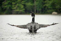 A loon preening with wings outstretched on Lake Wicwas Monday afternoon.  (Karen Bobotas/for the Laconia Daily Sun)