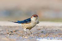 Greater-Striped Swallow perched on the ground, De Hoop Nature Reserve, Western Cape, South Africa