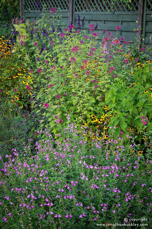 Border with Salvia × jamensis 'Trenance', Salvia 'Joan', Salvia 'Amistad' and Rudbeckia triloba
