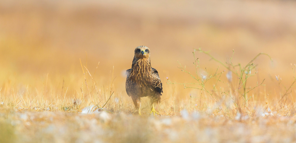 BLACK KITE (Milvus migrans), Campanarios de Azaba Biological Reserve, Salamanca, Castilla y Leon, Spain, Europe