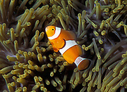 Ocellaris Clownfishes (Amphiprion ocellaris) among the tentacles of the host-sea anemone Heteractis crispa in a coral reef in southern Thailand.