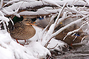 Mallard, Anas platyrhynchos, female, Paint Creek, Rochester, Michigan