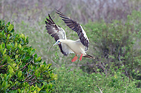 Red-footed booby, Sula sula landing in the mangroves on Genovesa Island in Galapagos National Park and Marine Reserve, Ecuador.
