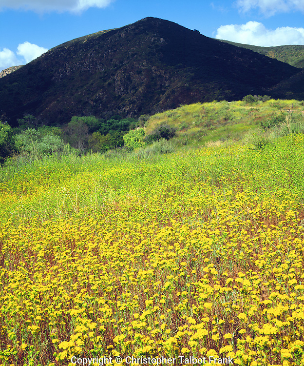 I used my 4x5 view camera to take this detailed photo of yellow wildflowers in Mission Trails Regional Park.  Great lighting lights the bright yellow foreground flowers while a pyramid shaped mountain rise in the background.