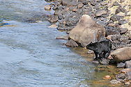 Black Bear and Cubs on the bank of a Wyoming river.