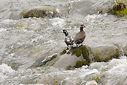 A pair of Harlequin Ducks resting on a rock in the Elwah River, Olympic NP.