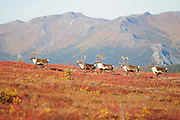 Caribou in Fall foliage in Denali National Park