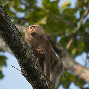 The northern pig-tailed macaque (Macaca leonina) is a species of primate in the family Cercopithecidae. Here a mother can been seen carrying an infant.