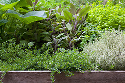Mixed herbs grown in a raised bed including Salvia purpurascens (purple sage) and Thyme 'Silver Queen'