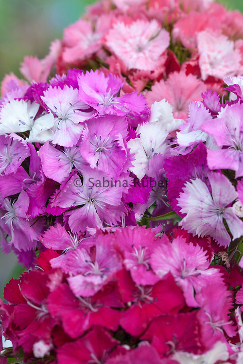 Dianthus barbatus 'Kaleidoscope Mix' - sweet william