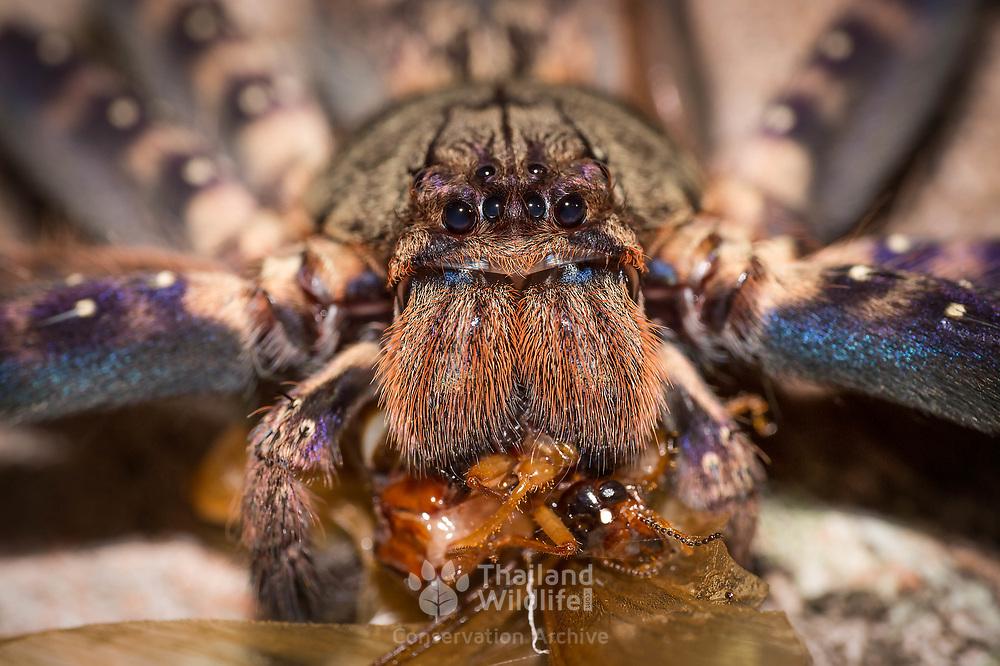 Huntsman Spider Heteropoda sp.