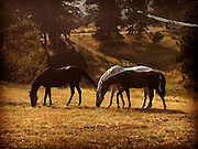 Phoenix, Wavos and Cuba grazing in the afternoon sun 28 August, 2015 in Indian Hills, Colorado.