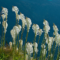 beargrass, in full bloom, backlit logan pass, glacier national park, montana