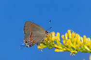 Red-banded Hairstreak - Hodges#4299 (Calycopis cecrops)<br /> United States: Alabama: Tuscaloosa Co.<br /> Tulip Tree Springs off Echola Rd.; Elrod<br /> 6-Oct-2017<br /> J.C. Abbott #2999
