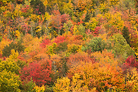 Fall Color Forest Tapestry, Franconia Notch State Park, New Hampshire