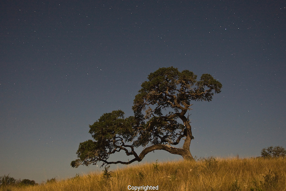 Live oak tree at sunset, Bandera, Texas.