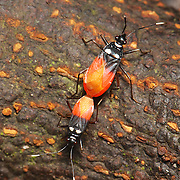 Pyrrhocoridae sp. , red bugs, mating on the forest floor of Kaeng Krachan National Park.