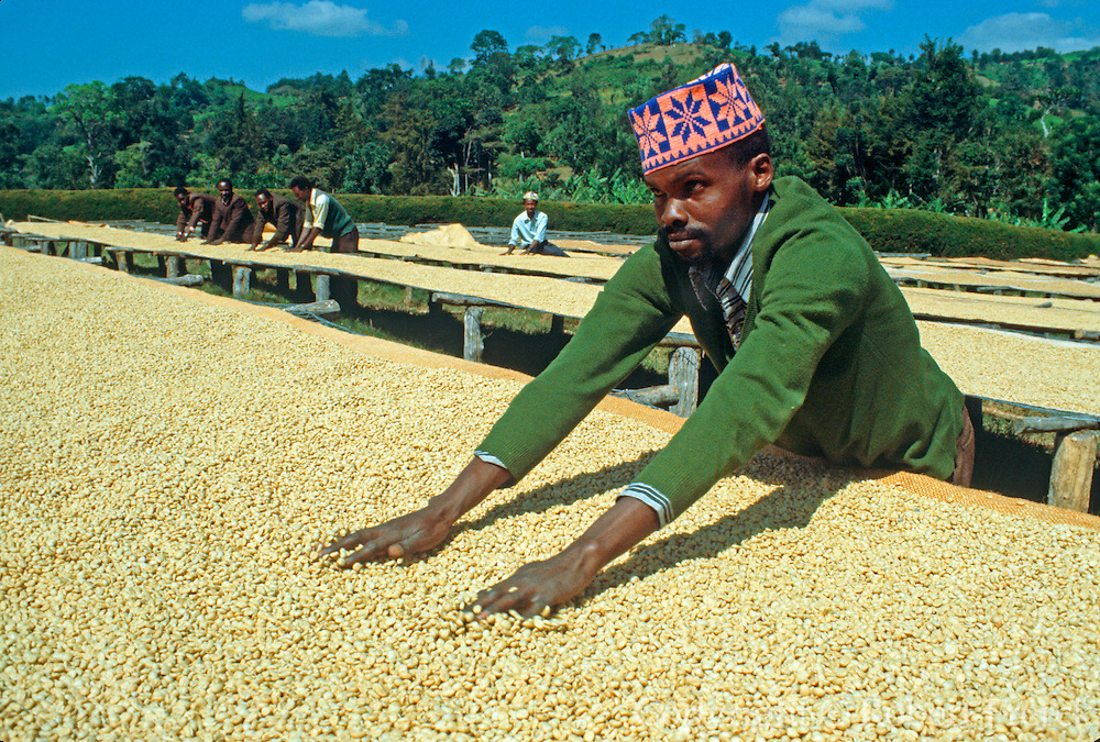 KENYA, AGRICULTURE a farm worker spreading coffee beans to  allow them to dry in the sun on a coffee  plantation in the Kenyan highlands