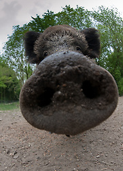 Humoristische close-up van wild zwijn; Funny close-up from Wild boar