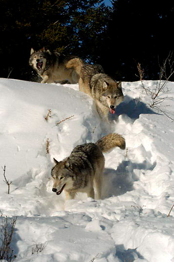 Gray Wolf (Canis lupus) Running through snow. Montana. Winter.  Captive Animal.